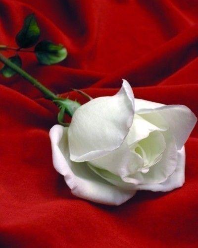 رامي للازهار - زهور الزفاف - دبي