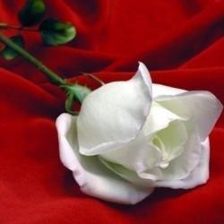رامي للازهار-زهور الزفاف-دبي-1