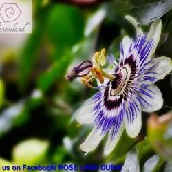 روز لاند-زهور الزفاف-دبي-3