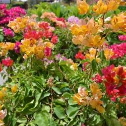 دبي جاردن سنتر-زهور الزفاف-دبي-2